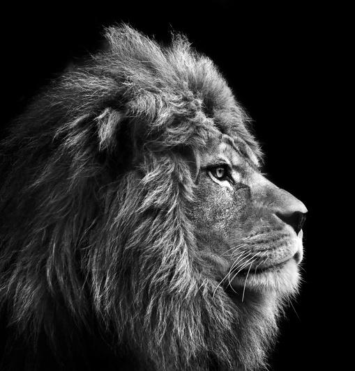 lion_cropped2.jpg
